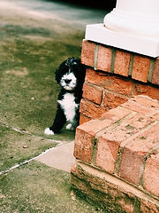 Puppy peeking around corner