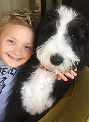 Bernedoodle puppies for sale