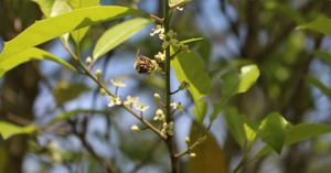 honeybee collecting pollen and nectar from a hooly tree