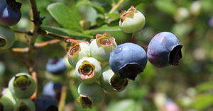 ripening highbush blueberry