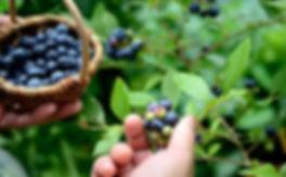Handpicking a basket of blueberries