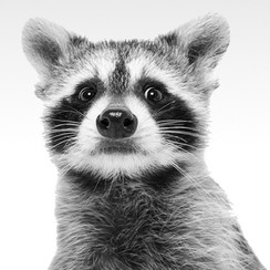 Getty-Donahue-the-Raccoon.jpg