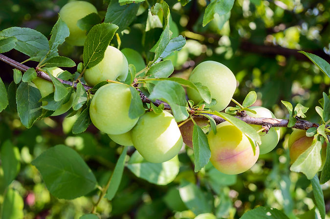 """Unripe fruits plums (variety: """"Greengage"""
