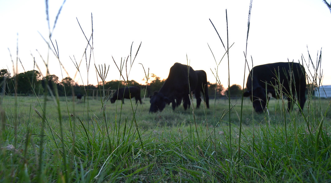 grass in focus w cows.jpg