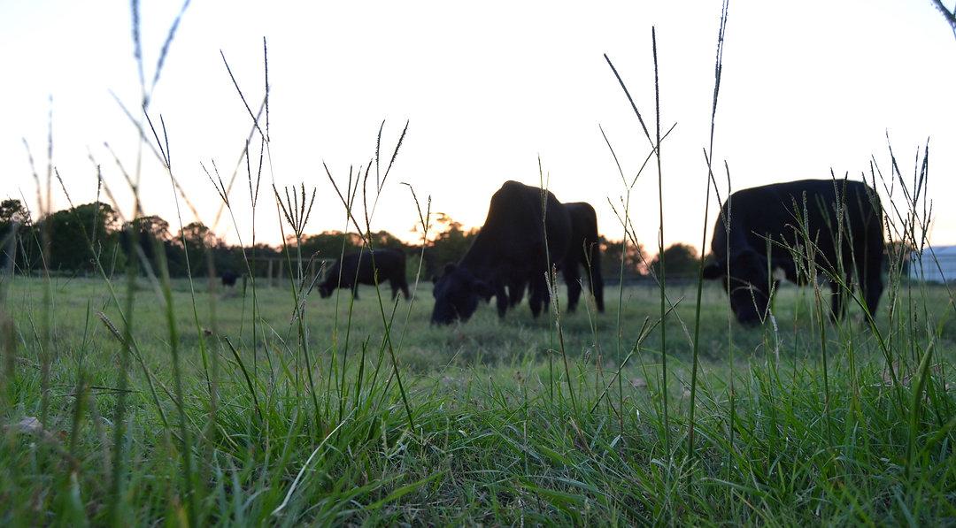 grass in focus w cows.jpg