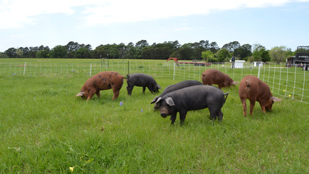Why our pigs are different. And delicious.