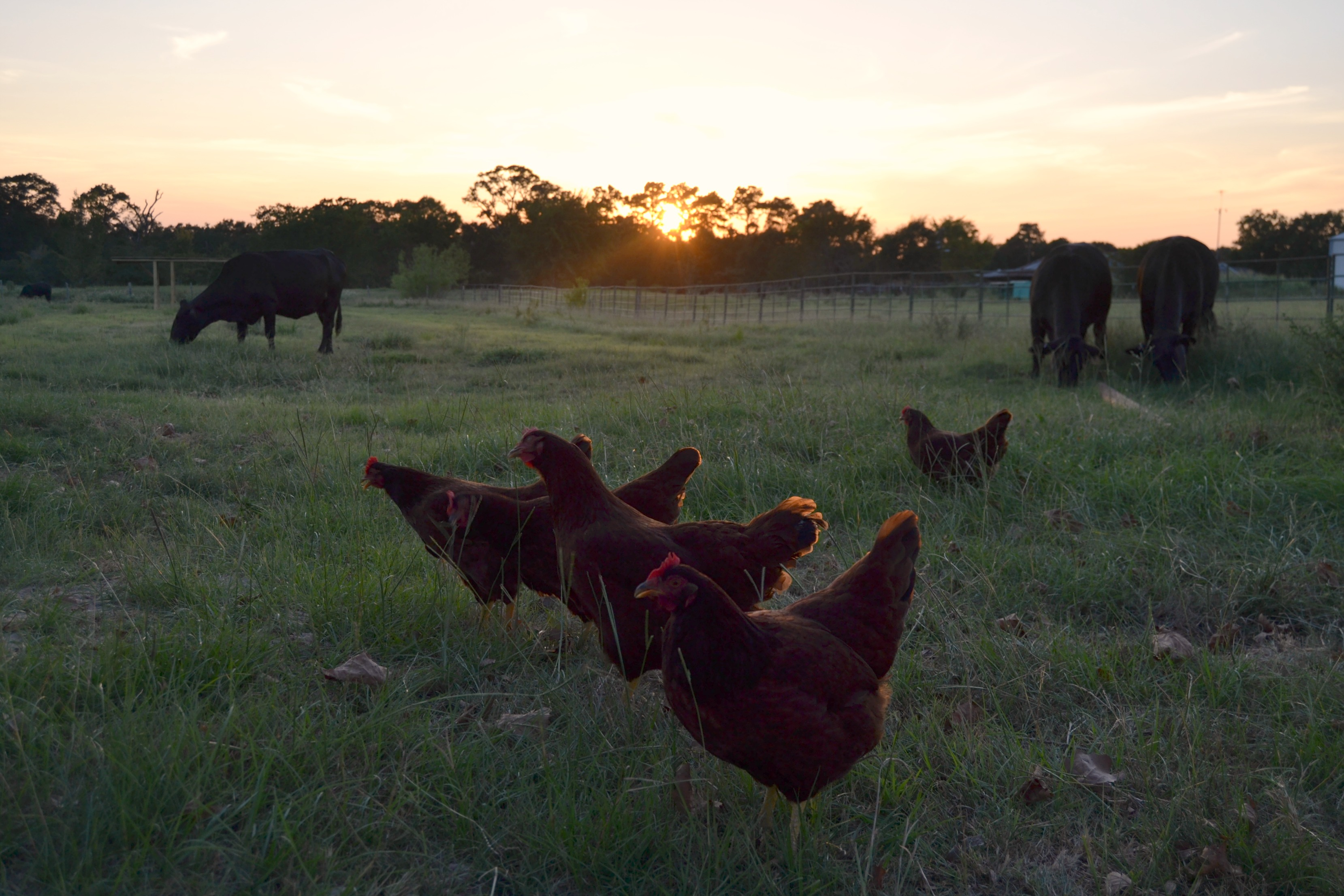 chick cow sunset.jpg