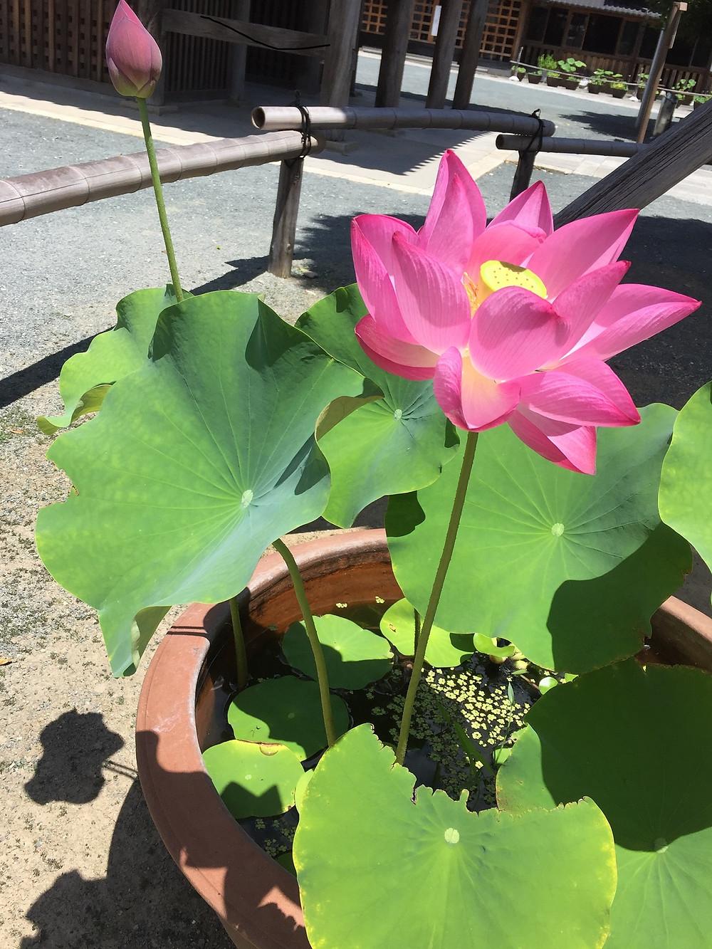 大きな蓮の花が彩を添えています