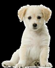 kisspng-labrador-retriever-siberian-husk