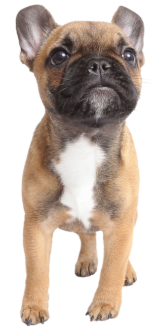 French Bulldog_isolated image.png