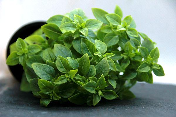 Basilic fin vert nain (1).jpg