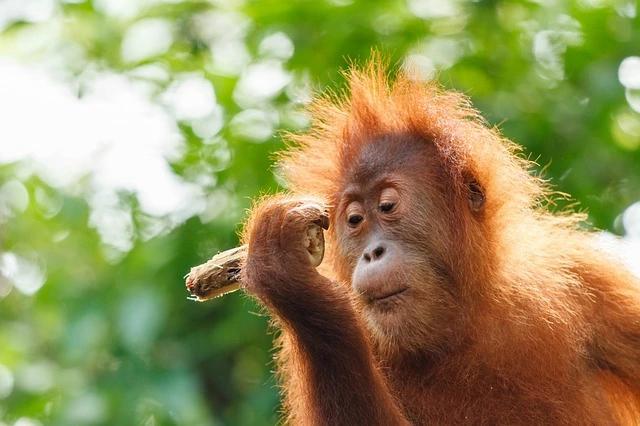 Skunk Ape Orangutan