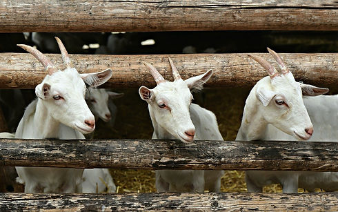 goat-4884605_1280.jpg