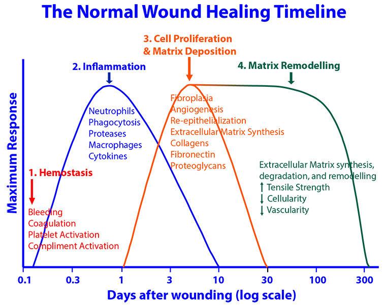 Wound_Healing_Curve-01.jpg