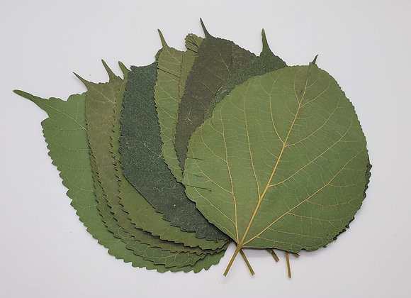 Small White Mulberry Leaves