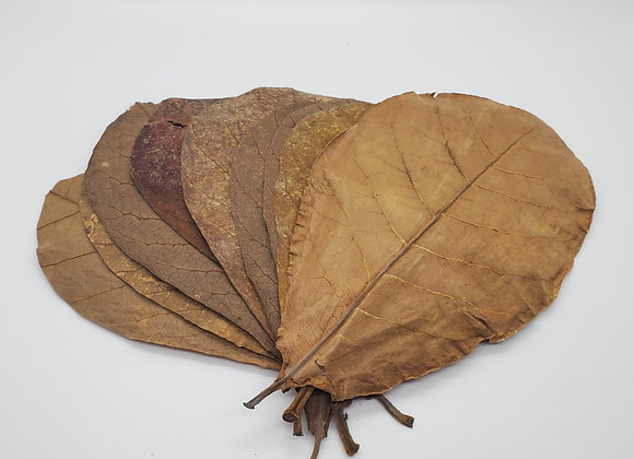 Medium Indian Almond Leaves