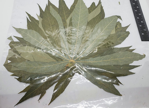 50 pack XXL Cassava Leaves SHIPPING INCLUDED