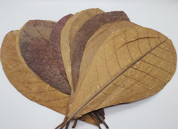 Large Indian Almond Leaves