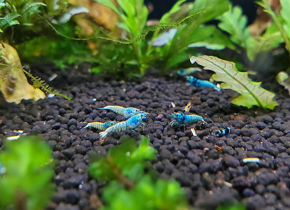 Blue Bolt Phenotype (from mixed caridina tank) Mixed Grade
