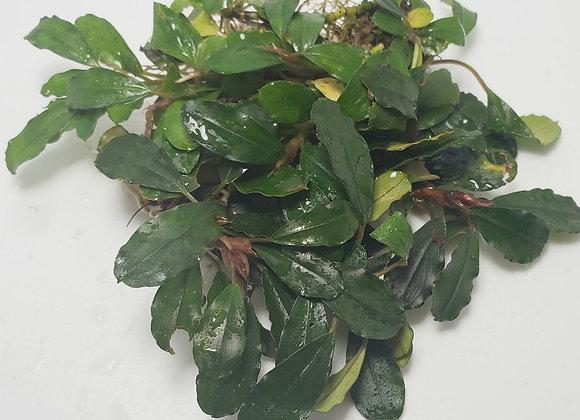 Bucephalandra sp. Green Metallic