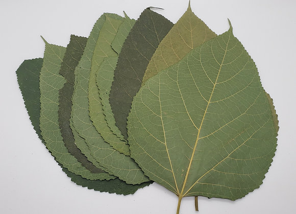Large White Mulberry Leaves