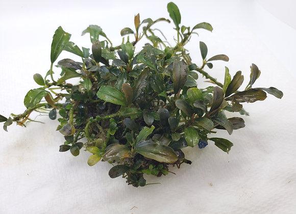 Bucephalandra sp. Green Sintang