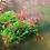 Thumbnail: Red Sakura Neocaridina