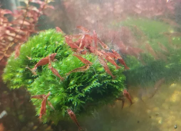 Red Sakura Neocaridina