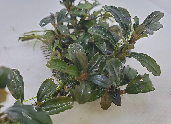 Bucephalandra sp. Brownie Metallica
