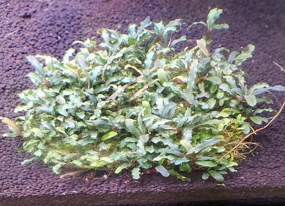 Bucephalandra sp. Micro Kedegang