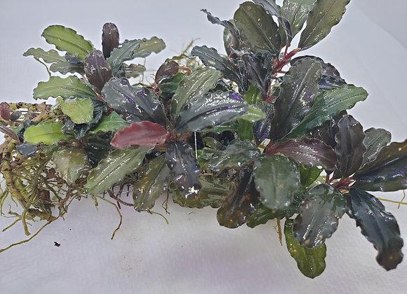 Bucephalandra sp. Brownie Red