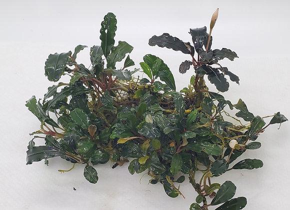 Bucephalandra sp. Mahap