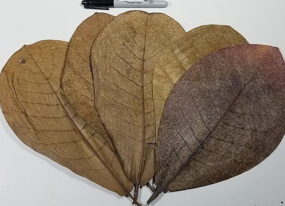 Extra Large Indian Almond Leaves