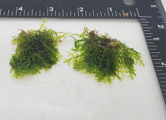 "Mini Pellia ""Coral Moss"""