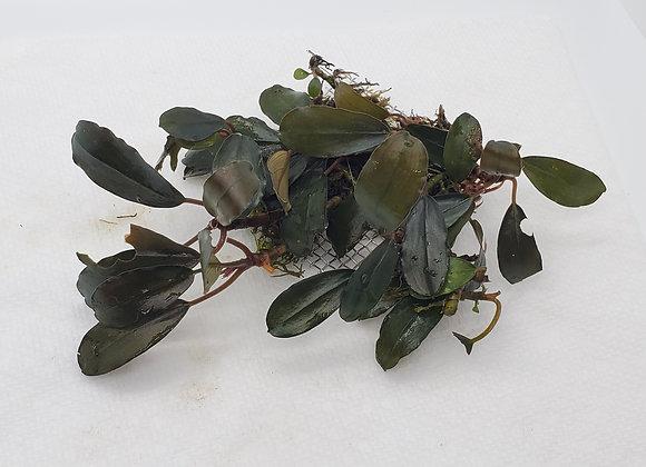 Bucephalandra sp. Red Amora