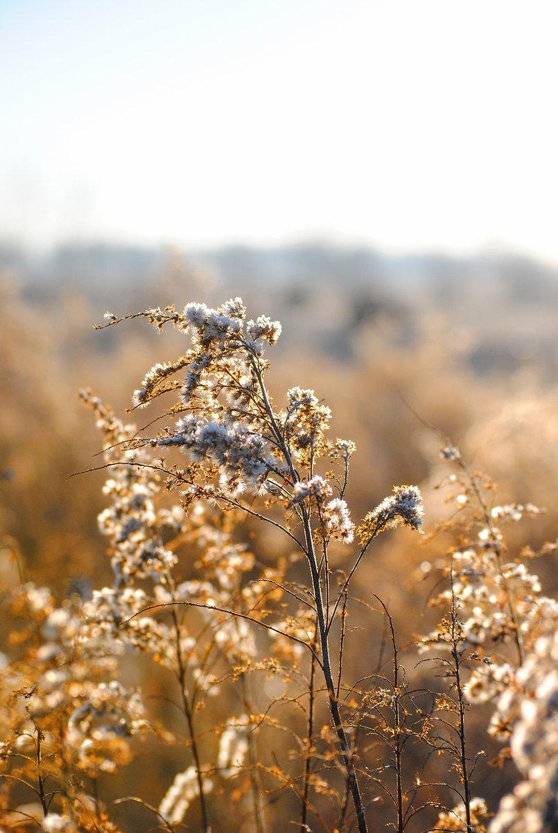 Белые полевые цветы