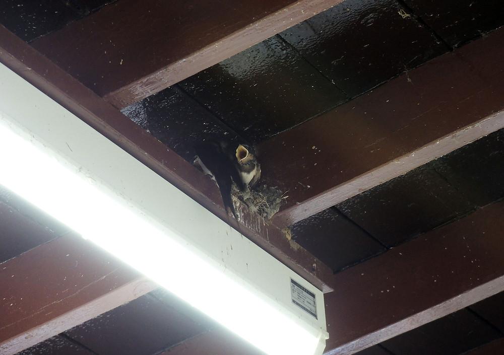 ツバメの巣のヒナたち 熱海別荘不動産Irodoriいろどり
