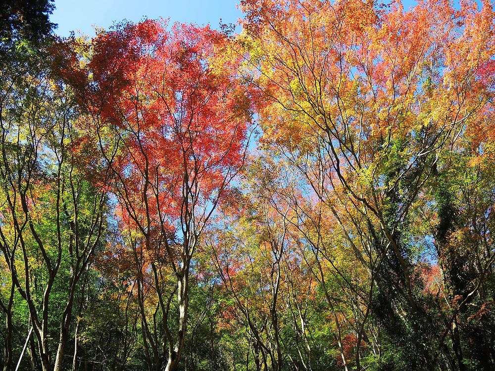 奥湯河原の色鮮やかな紅葉