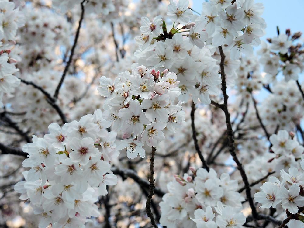熱海初川沿いの桜