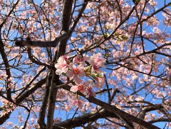 熱海親水公園のヒマラヤ桜