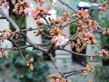 あたみ桜が咲きはじめました