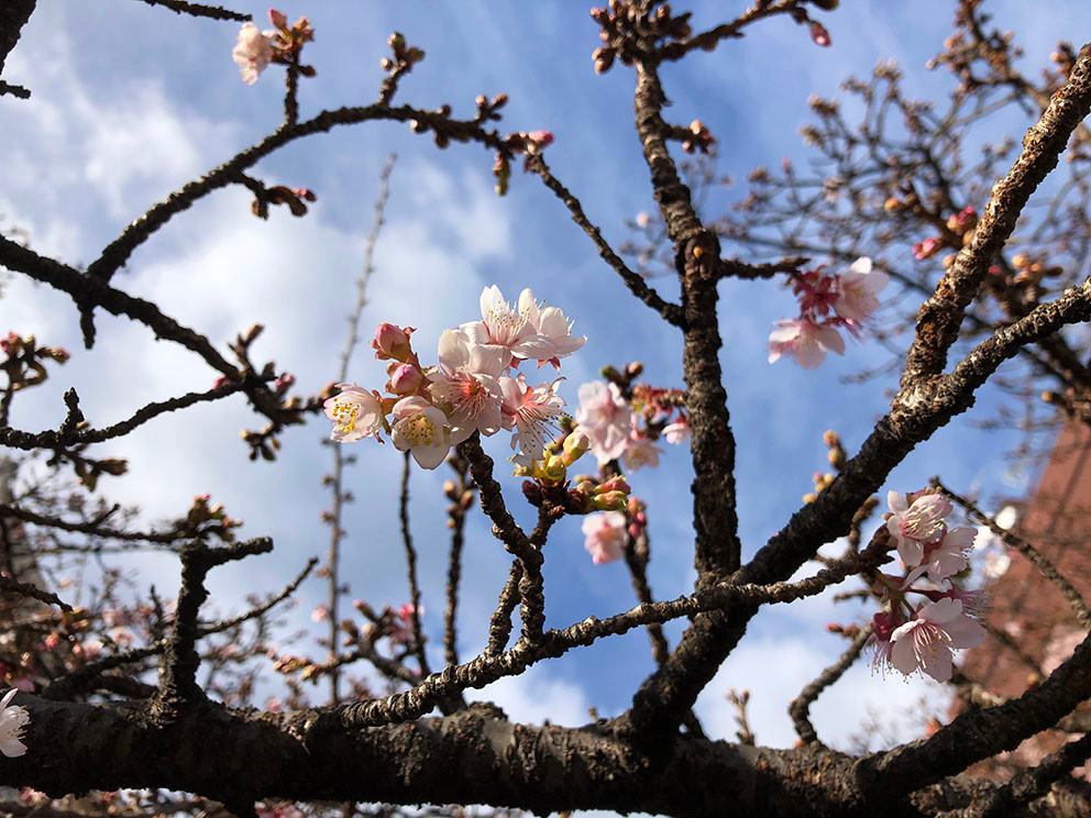 熱海糸川あたみ桜