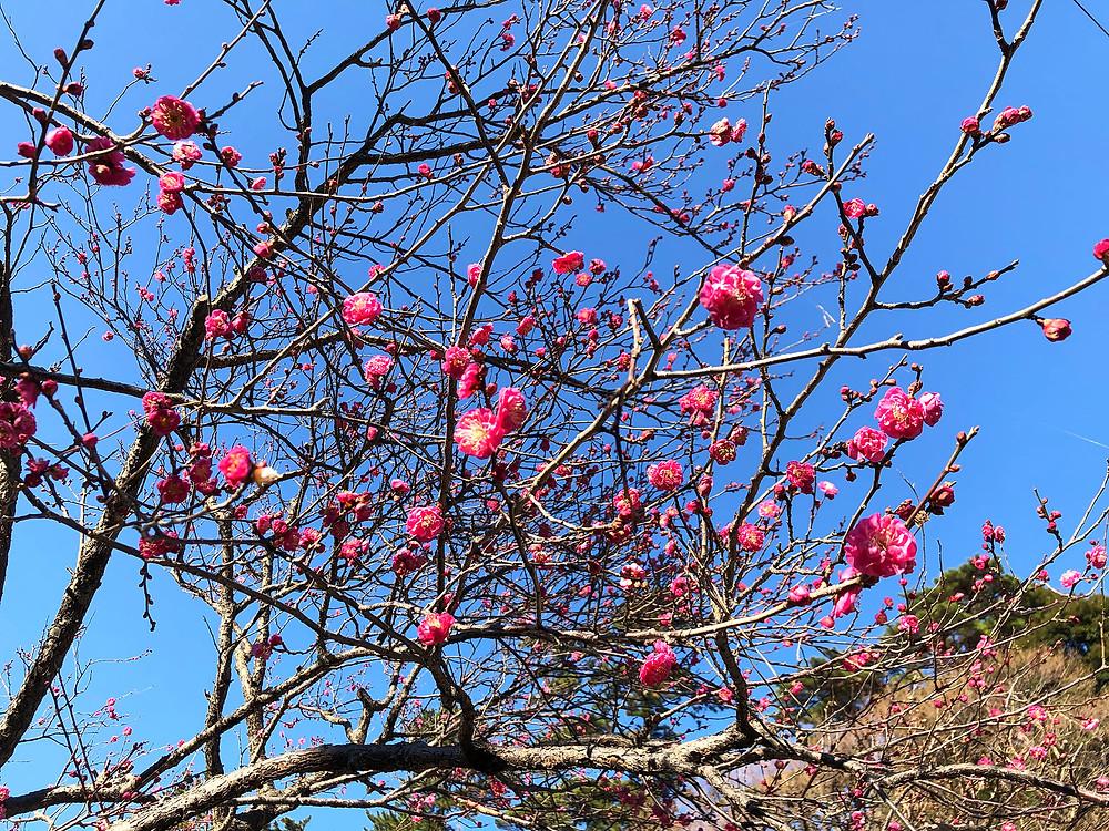 熱海梅園梅まつり八重咲の梅