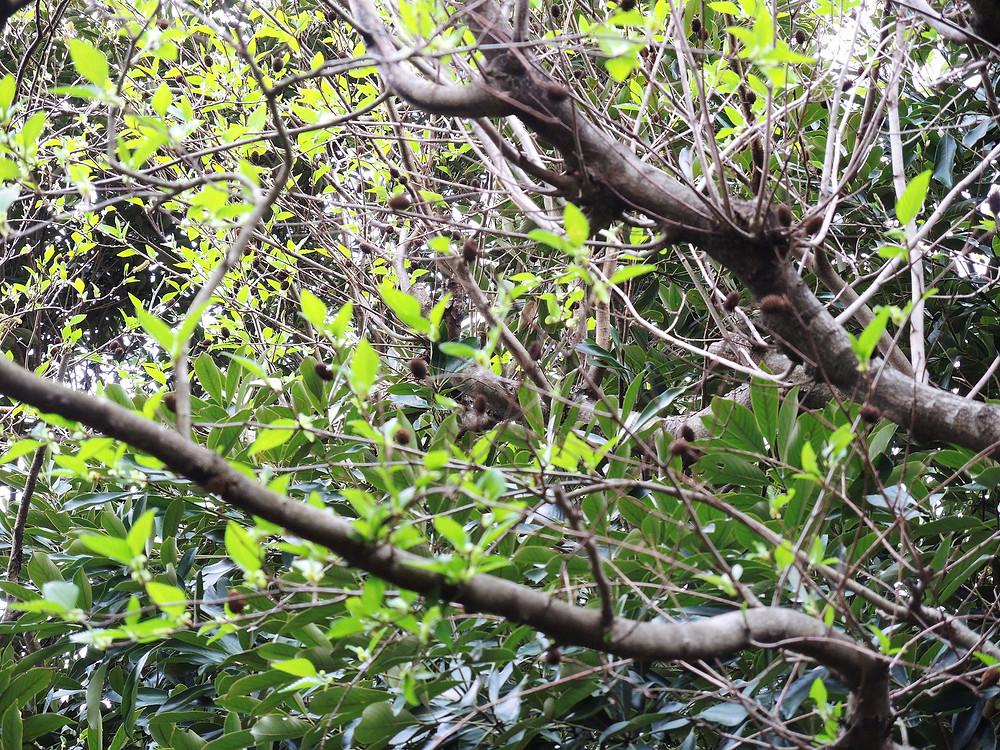 オオバヤシャブシの葉 熱海別荘不動産Irodori