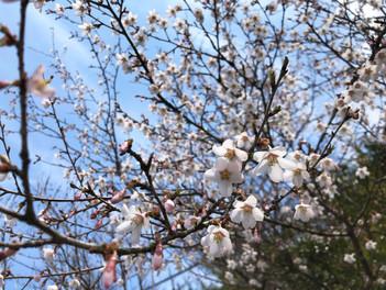 箱根の山に咲くハコネザクラ