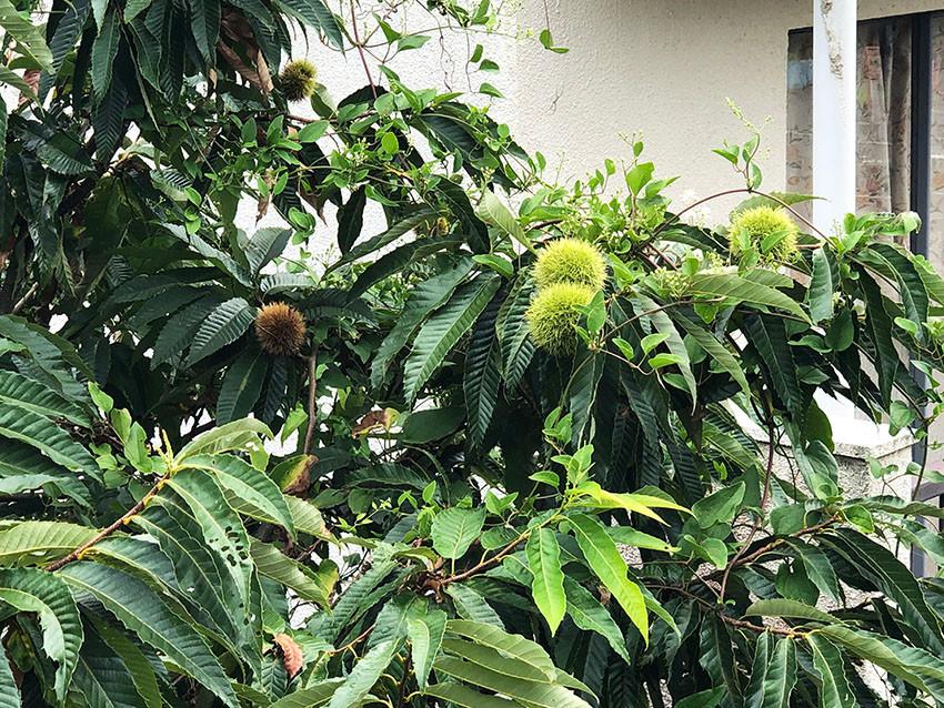 たわわに実る栗の木