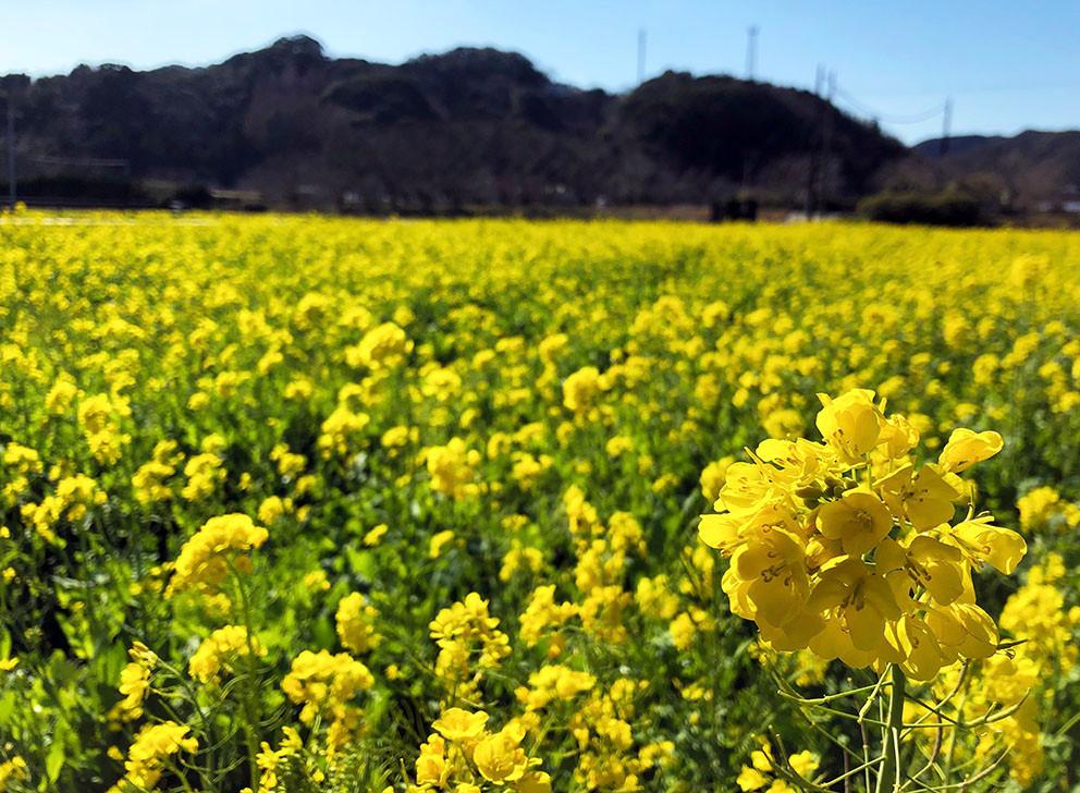 立春 南伊豆町 菜の花畑