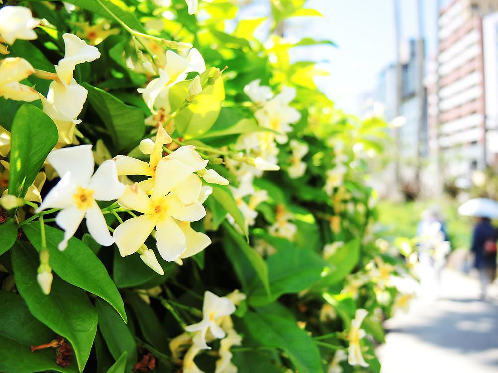熱海サンビーチ遊歩道 ジャスミン