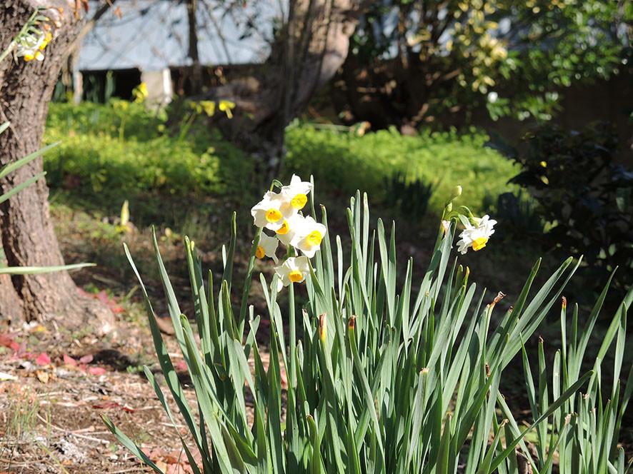 植物と暮らし 水仙が咲く庭