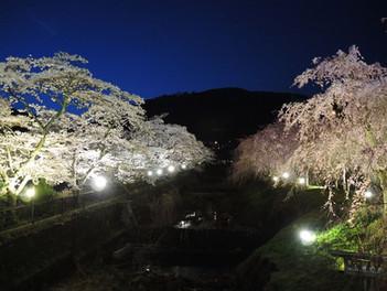 箱根宮城野 早川堤の夜桜